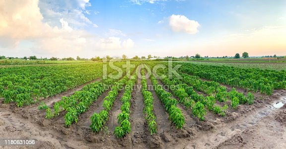 istock Panoramic photo of a beautiful agricultural view with pepper plantations. Agriculture and farming. Agribusiness. Agro industry. Growing Organic Vegetables 1180631056