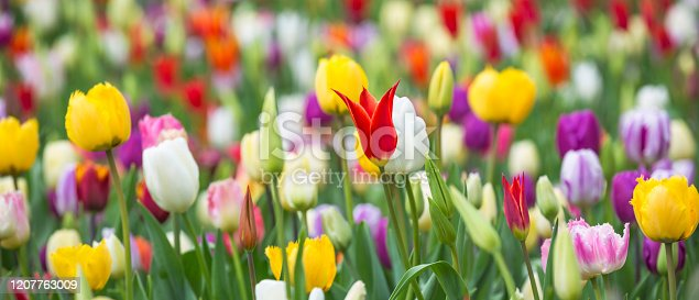 istock Panoramic photo of beautiful bright colorful multicolored yellow, white, red, purple, pink tulips on a large flower-bed in the city garden, close up. Multicolored flower panorama. 1207763009