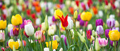 Panoramic photo of beautiful bright colorful multicolored yellow, white, red, purple, pink tulips on a large flower-bed in the city garden, close up. Multicolored flower panorama.