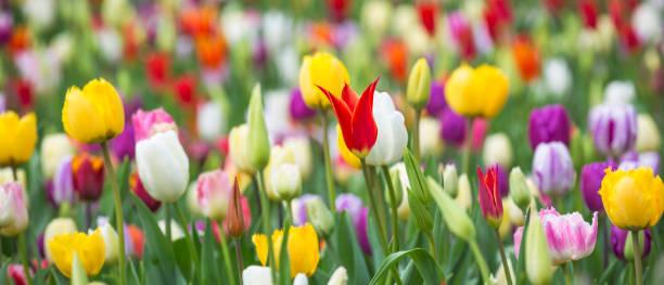 panorama foto av vackra ljusa färgglada mångfärgade gul, vit, röd, lila, rosa tulpaner på en stor blomsterbädd i stadens trädgård, närbild. mångfärgad blomma panorama. - vår bildbanksfoton och bilder
