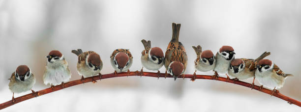 panoramic picture of funny cute birds sparrows sitting on a branch in the Park and look forward stock photo