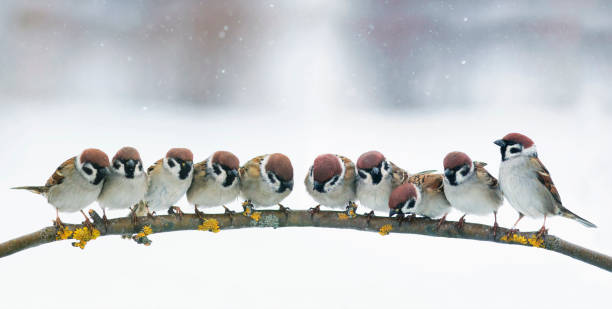 panoramic picture with many little funny birds sitting in the Park on a branch in snow stock photo