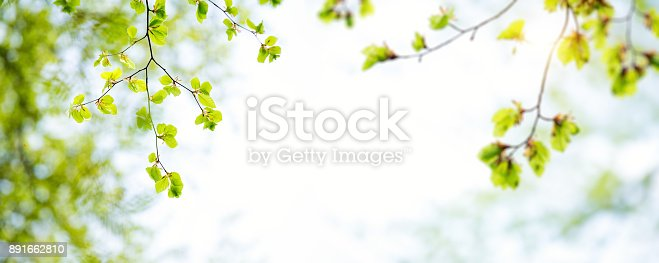 istock Panoramic Spring Leaves 891662810