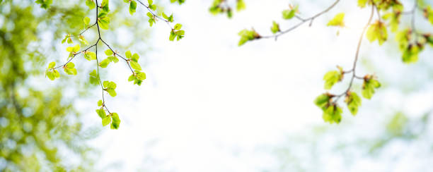 Panoramic Spring Leaves Panoramic background with fresh green leaves. beech tree stock pictures, royalty-free photos & images