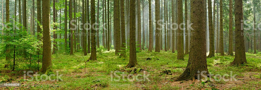 Panoramic Spruce Tree Forest with Sunbeams and Some Fog stock photo
