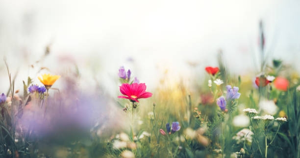 Panoramic Summer Meadow Panoramic summer meadow full of colorful flowers. wildflower stock pictures, royalty-free photos & images