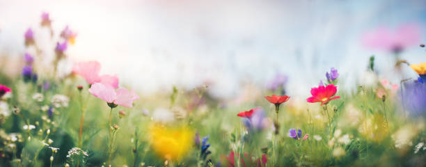 panoramic summer meadow - flowers stock pictures, royalty-free photos & images