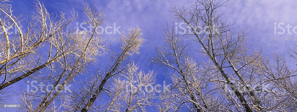 Panoramic Trees in Winter royalty-free stock photo
