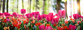 Beautiful spring flowerbed with pink tulips and multicolored garden flowers. Selective focus, vertical image