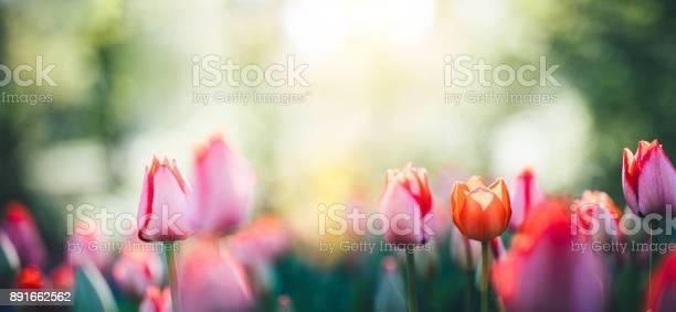 Panoramic tulip field picture id891662562?b=1&k=6&m=891662562&s=612x612&h=4hv328dp1pmzp0dkfsoupckxhibvo3rbanb5hucuy s=