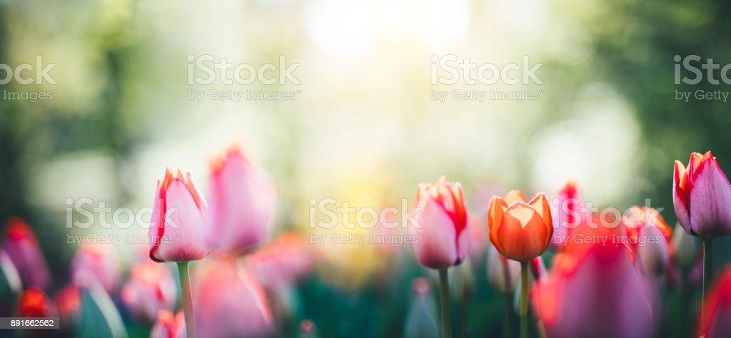 Vue panoramique du champ de tulipes - Photo