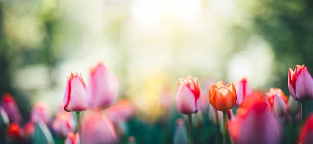 panorama-tulpenfeld - tulpe stock-fotos und bilder