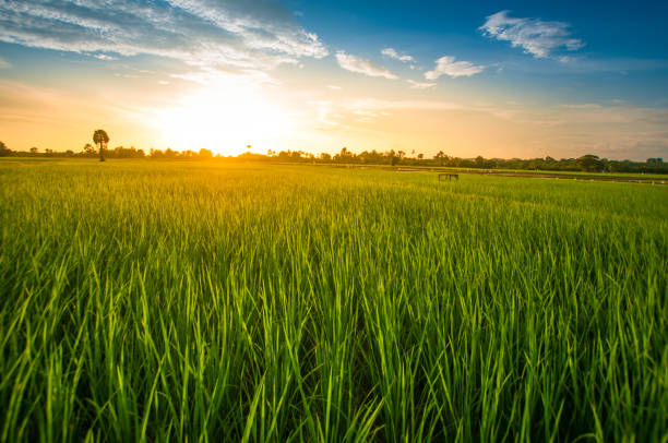 Panoramic view nature Landscape of a green field with rice stock photo