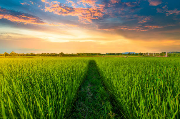 Panoramic view nature Landscape of a green field with rice Panoramic view nature Landscape of a green field with rice at sunset rice paddy stock pictures, royalty-free photos & images