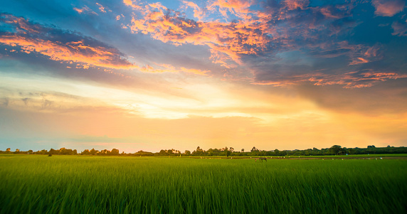 istock Panoramic view nature Landscape of a green field with rice 897816660