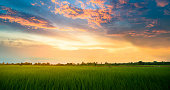 Panoramic view nature Landscape of a green field with rice at sunset