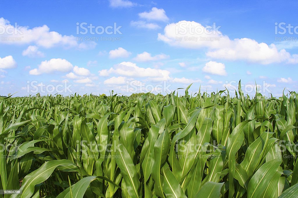 Panoramic view of a corn field with crops royalty-free stock photo