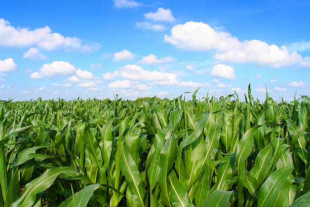 Panoramic view of a corn field with crops stock photo