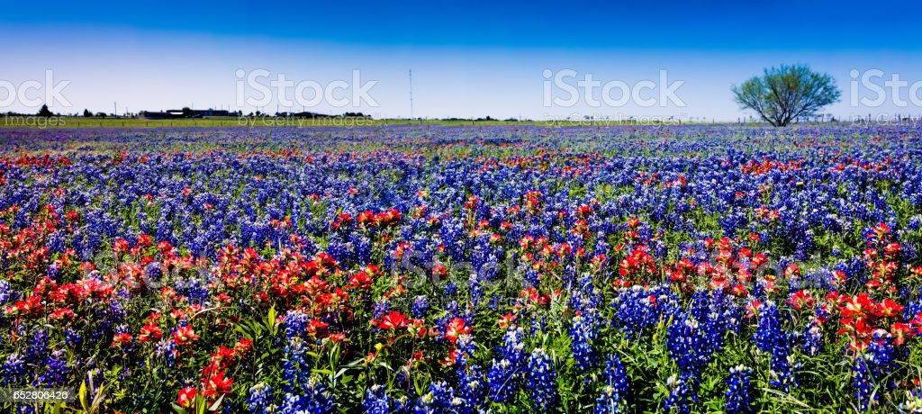 A Panoramic View of a Field of the Famous Texas Bluebonnet and Paintbrush Wildflowers. stock photo