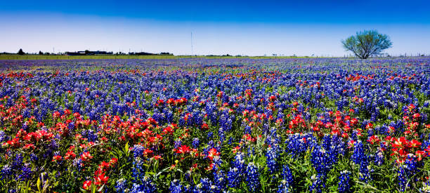 a panoramic view of a field of the famous texas bluebonnet and paintbrush wildflowers. - bluebonnet stock photos and pictures