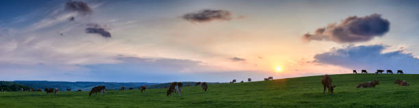 Panoramic view of a herd of scattered cows grazing in fields in The Chiltern Hills with sunset and skyscape stock photo