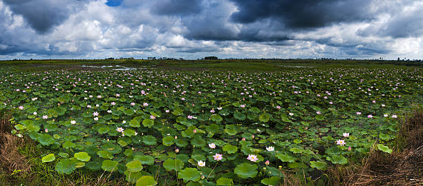 Panoramic view of a lotus field stock photo