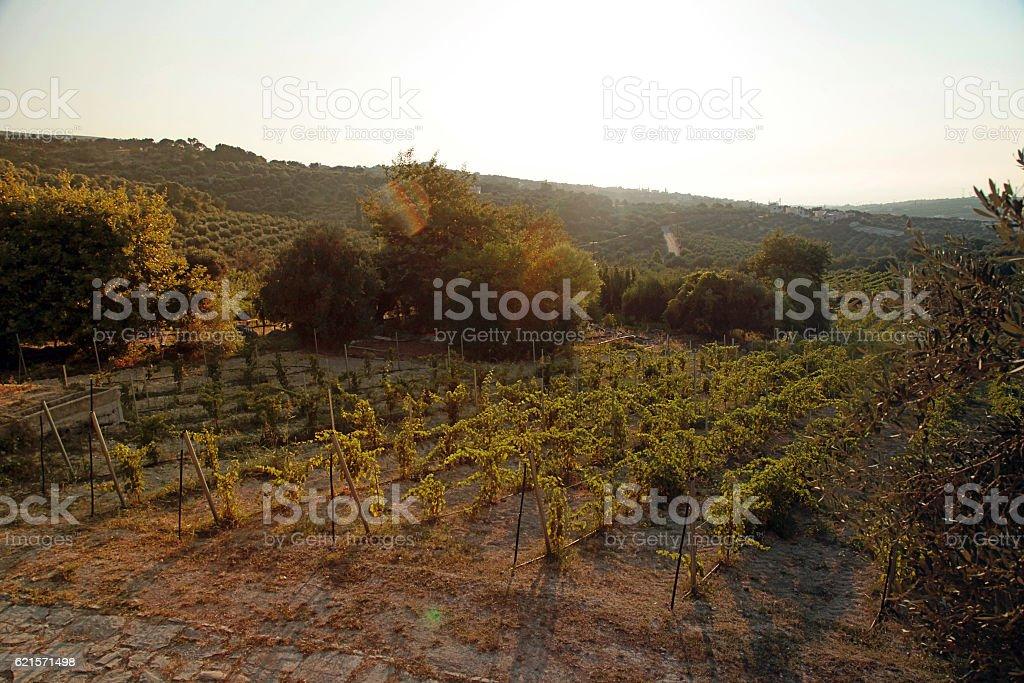 Panoramic view of a vineyard in Crete, Greece. Sunset light photo libre de droits