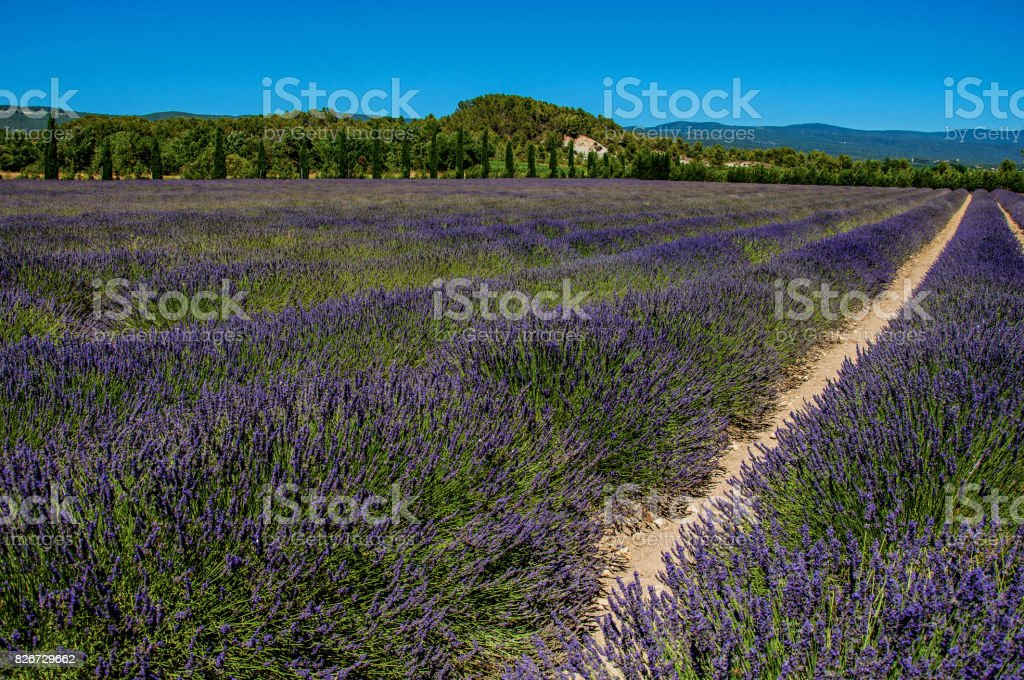 Panoramic view of field of lavender flowers under sunny blue sky, near Gordes. stock photo