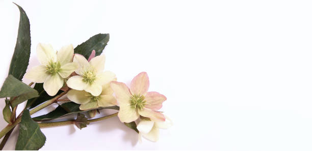 panoramic view of funeral bunch of Hellebore flowers (Christmas rose) isolated on bright background. Beautiful greeting card. Holidays concept. Copy space, top view stock photo