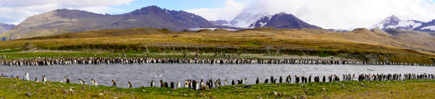 Panoramic view of king penguin colony at St Andrew's Bay stock photo