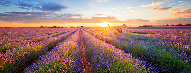 Panoramic view of lavender filed in Valensole at sunset Panoramic view of lavender filed in Valensole. Provence, France provence alpes cote d'azur stock pictures, royalty-free photos & images