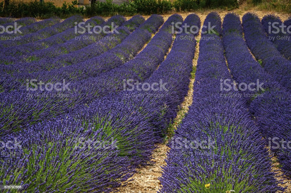 Panoramic view of lavender flowers fields near the village of Valensole. stock photo