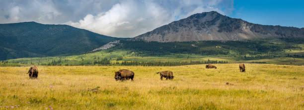 Panoramautsikt över bergen och Prairie Buffalo bildbanksfoto