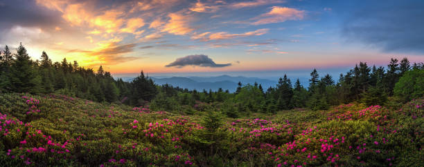 Panoramic view of Rhododendron bloom ar sunrise. A dramatic sunrise over blooming Catawba Rhododendron field at Tennessee's Roan Mountain State Park appalachia stock pictures, royalty-free photos & images