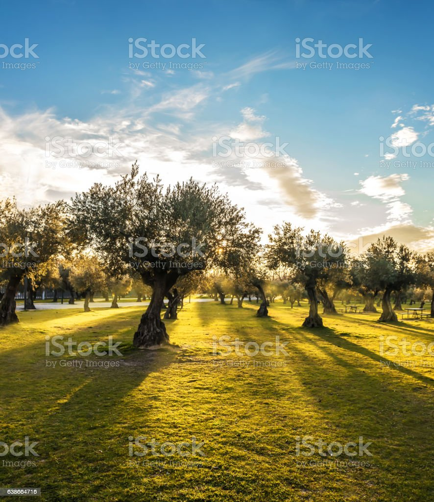 Panoramic view of sunset behind grass field and olive trees stock photo