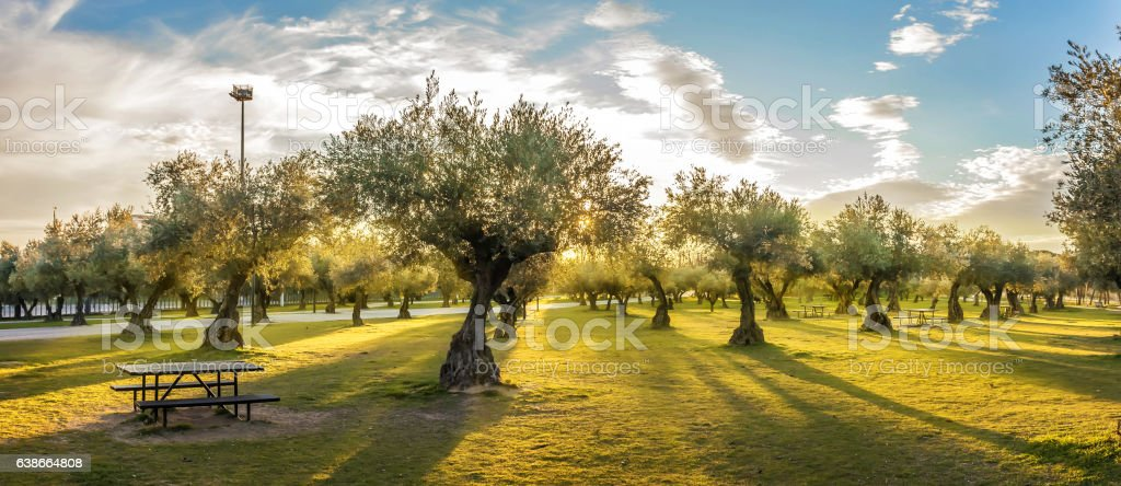Panoramic view of sunset behind grass field and olive trees - Photo