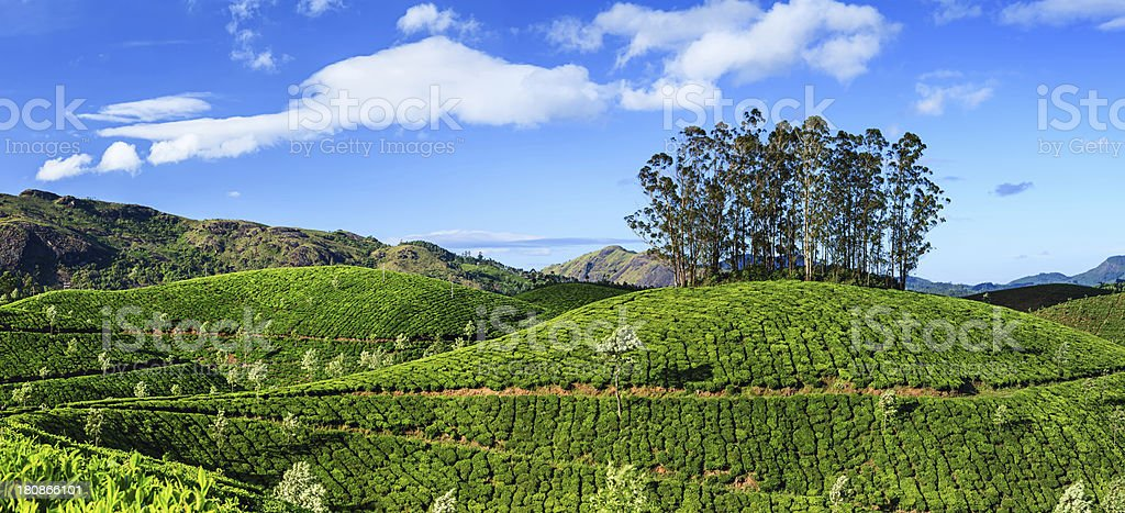 Panoramic view of tea plantation in India, Asia stock photo