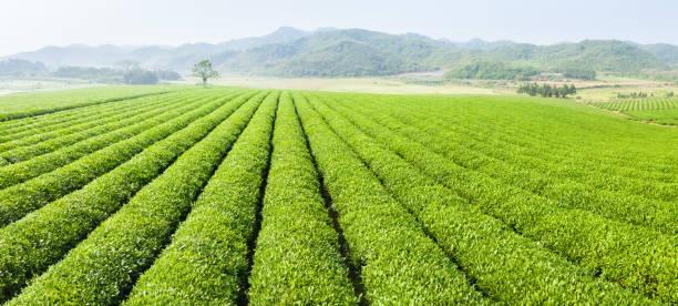 Panoramablick auf die Teeplantage – Foto