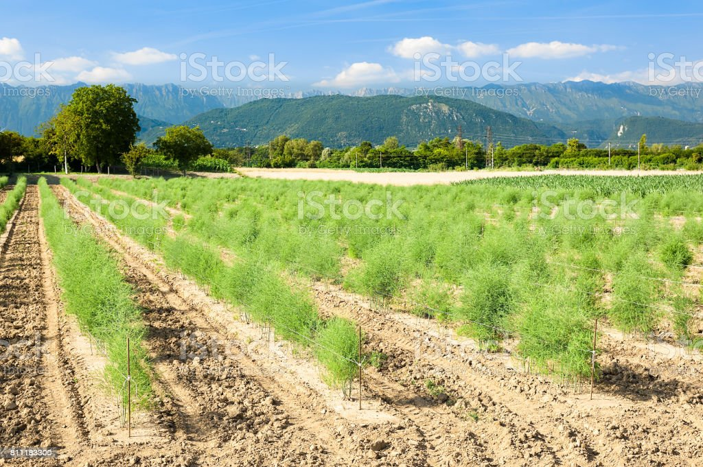 Vista panorámica de los campos de espárragos. - foto de stock