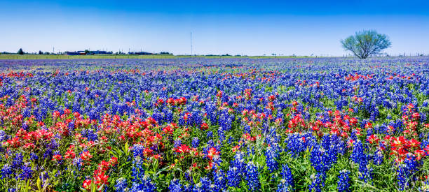 panoramic view of the famous texas bluebonnet wildflowers. - bluebonnet stock photos and pictures