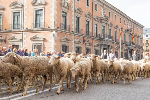 panoramic view of the main street of madrid full of sheep passing quietly guided by their shepherds. - отгонное животноводство стоковые фото и изображения