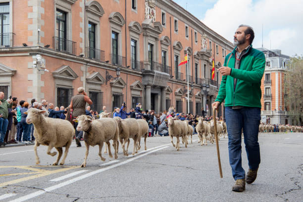 panoramic view of the main street of madrid through which sheep with their shepherd circulate - отгонное животноводство стоковые фото и изображения