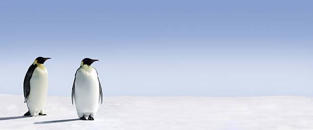 Panoramic view of two Penguins in the Arctic stock photo