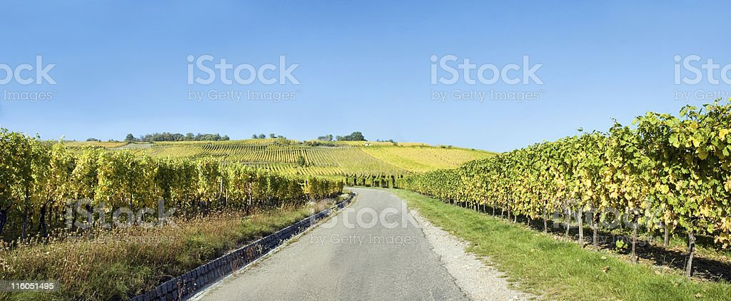 Panoramic View of Vineyard in Autumn royalty-free stock photo