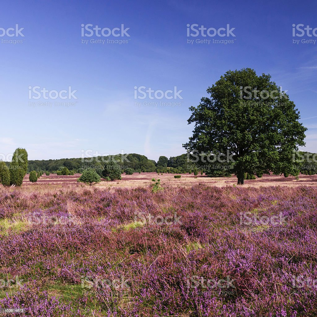 panoramic view on Lueneburg Heath stock photo