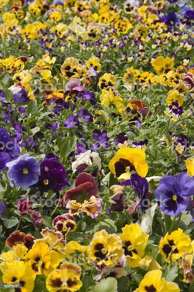 Pansies and Violets royalty-free stock photo