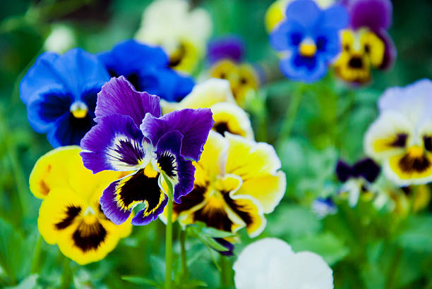 Pansies background Pansies background pansy stock pictures, royalty-free photos & images