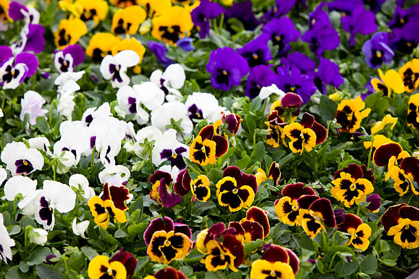 Pansies background XXXL Pansies background XXXL pansy stock pictures, royalty-free photos & images