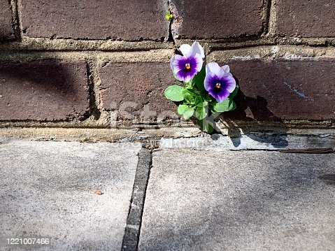 Pansies flower growing out of the brick wall on the sidewalk in historic Alexandria, Virginia.