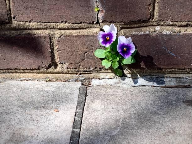 penséer blomma växer ur tegelvägg på trottoaren - återhämtning bildbanksfoton och bilder